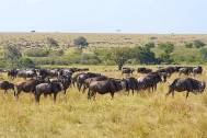 the Wildebeest is actually an Antelope